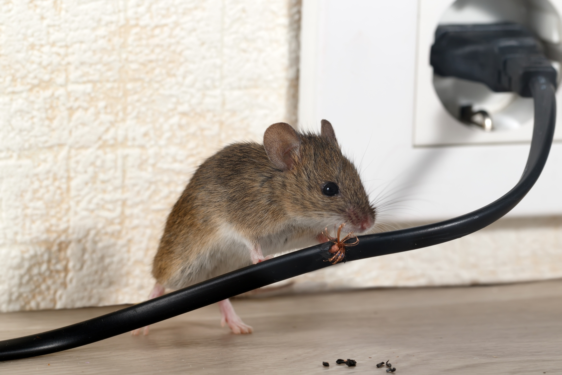 Mice Infestation, Pest Control in Broxbourne, EN10. Call Now 020 8166 9746