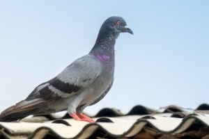 Pigeon Pest, Pest Control in Broxbourne, EN10. Call Now 020 8166 9746